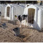heifers management